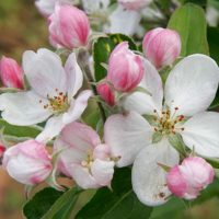 Logo for Talon Haynie/Apple Blossom Dentistry